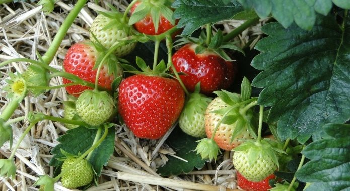 fresh strawberries in field