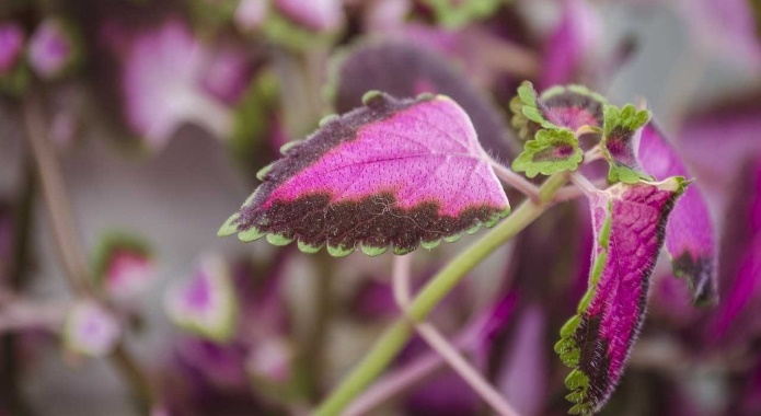 The Ultimate Guide To Forskolin Extract Benefits Side