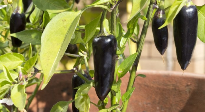 black chili peppers-min