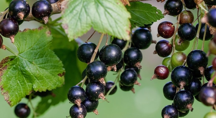 black-currants-desktop-min