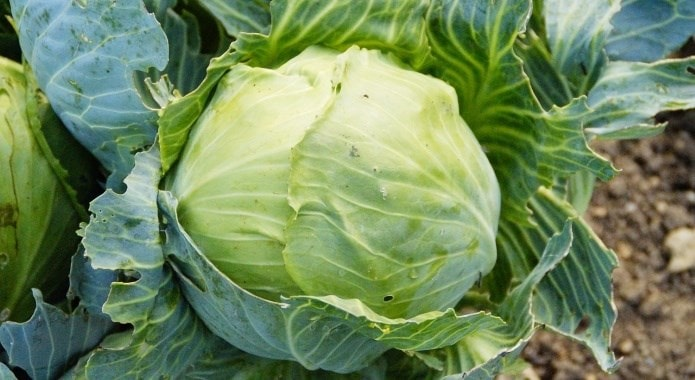 fresh-green-cabbage-1-min
