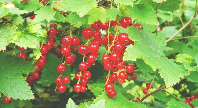 red-currants-min