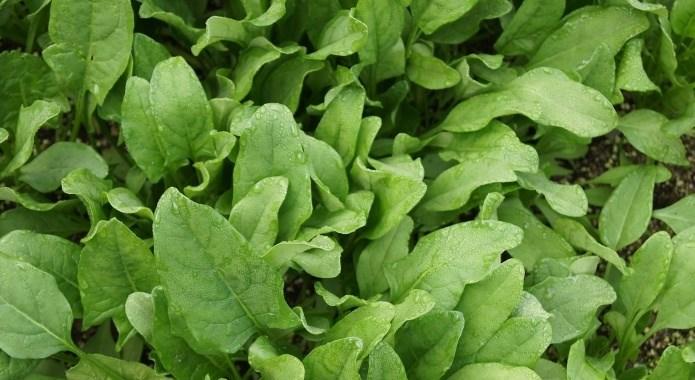 spinach in ground