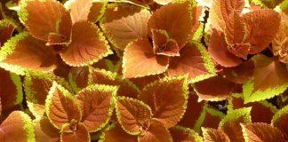 coleus nature plant