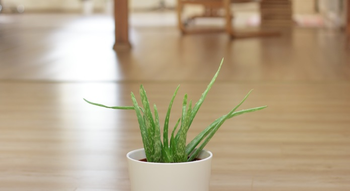 little aloe vera plant