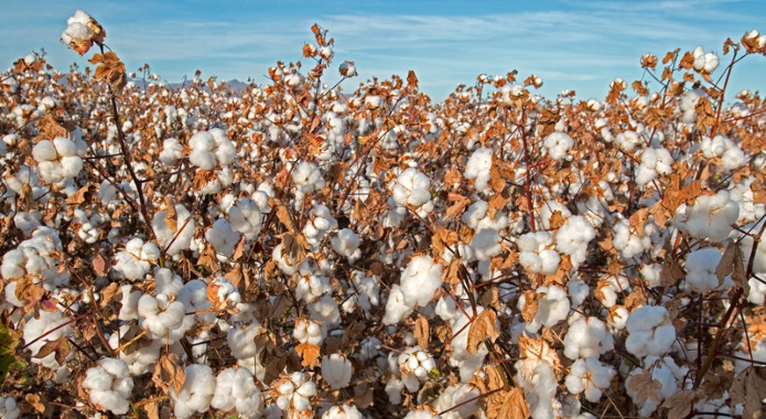 cotton plant desktop