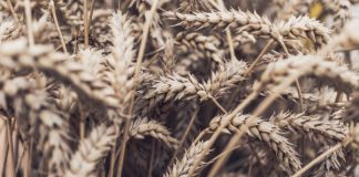field grains