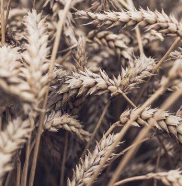 field grains