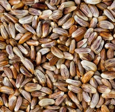 safflower seeds mobile