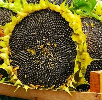 sunflower-with-black-seeds mobile