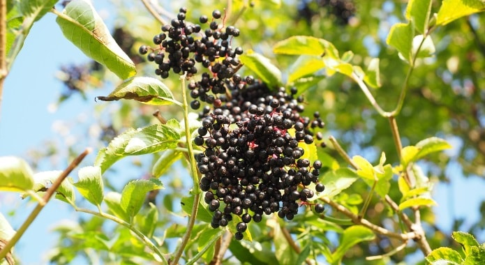 elderberries-on-tree-min