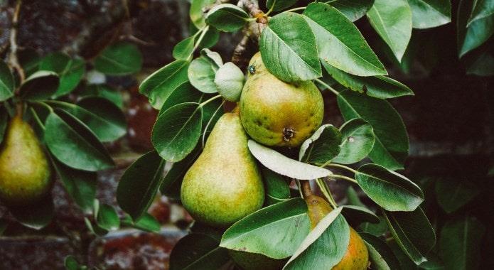 green-pear-min