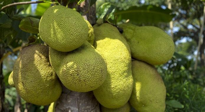 jackfruit-min