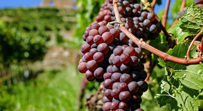 red-grapes-min