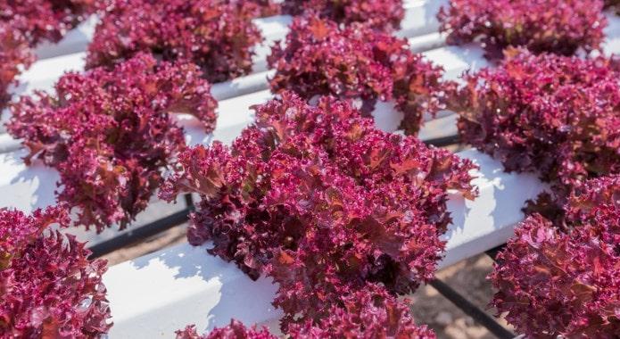 red lettuce-min