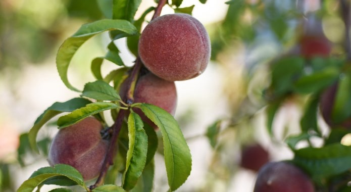 red-peaches-min
