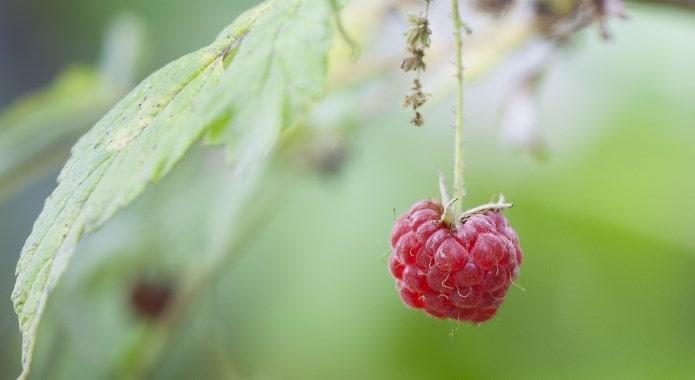 wild-raspberry-min